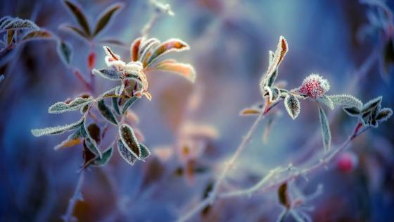 Frozen rosehips - Macro photography  wallpaper