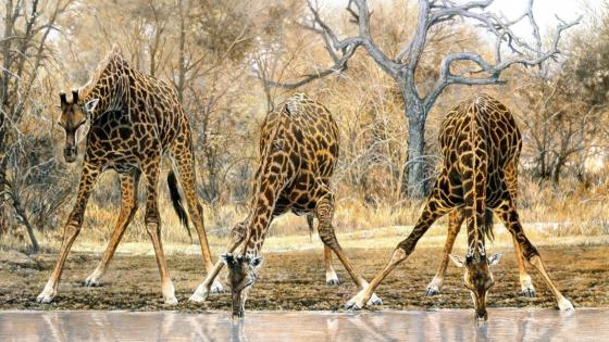 Giraffes drinking - Wildlife art wallpaper