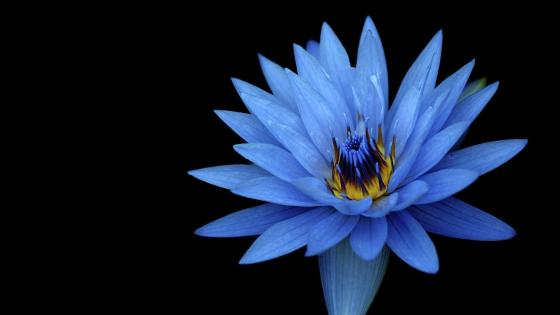 Blue lotus flower wallpaper