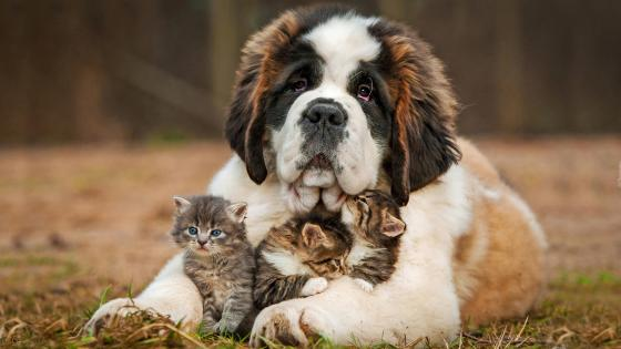 Saint Bernard dog with kittens wallpaper