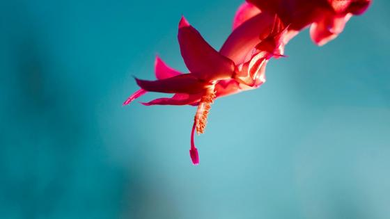Christmas cactus flower macro photo wallpaper