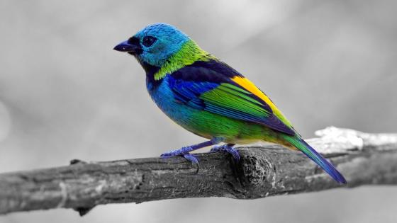 Colorful bird on monochrome background wallpaper