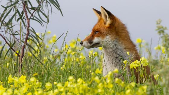 Fox in the flowerfield - Wildlife photography wallpaper