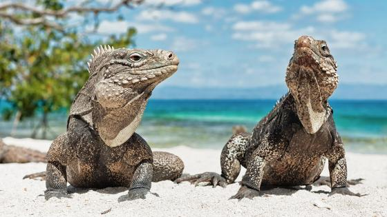 Cuban Rock Iguanas wallpaper