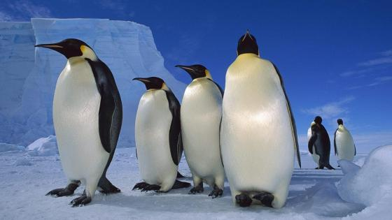 Emperor penguins in Antarctica wallpaper
