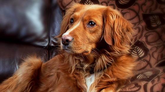 Dog portrait on the sofa wallpaper