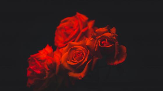 Red rose bouquet wallpaper