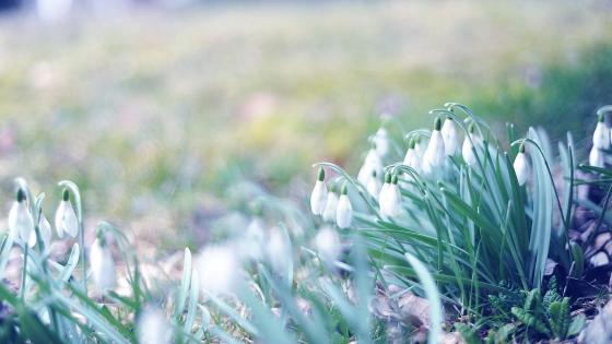 Snowdrops at spring  wallpaper