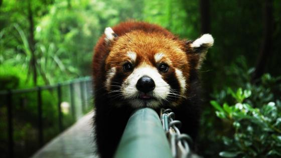 Cute Red Panda wallpaper