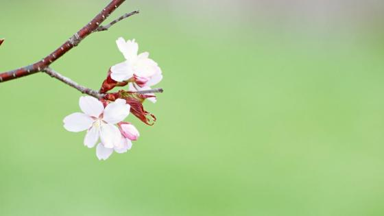 Flowery spring branch  wallpaper