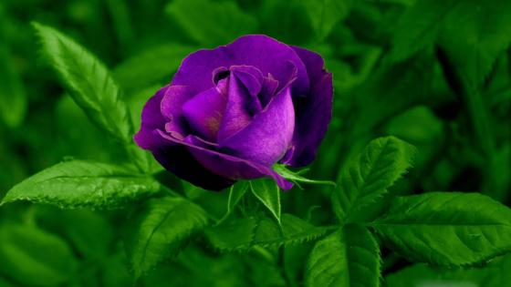 Lovely purple rose  wallpaper