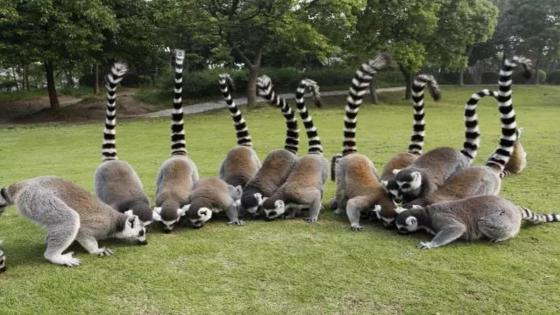 Lemurs wallpaper
