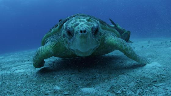 Sea turtle - Underwater   wallpaper