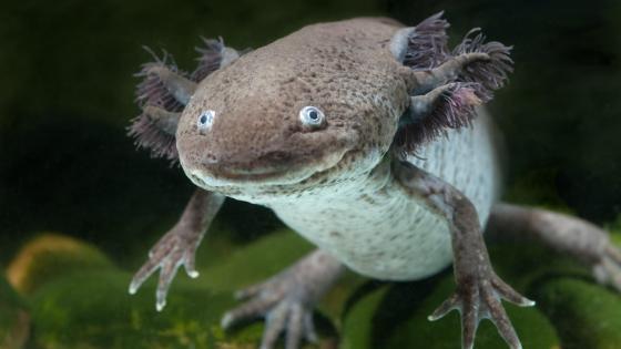 Axolotl underwater  wallpaper