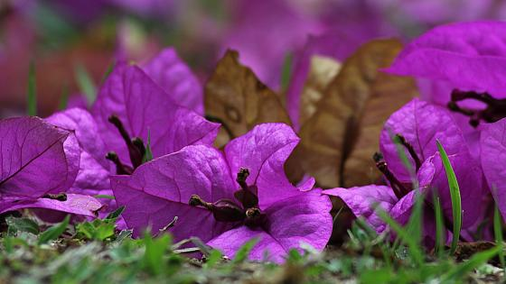 Purple Bougainvillea  wallpaper