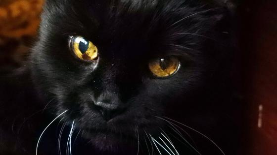 Black cat face wallpaper