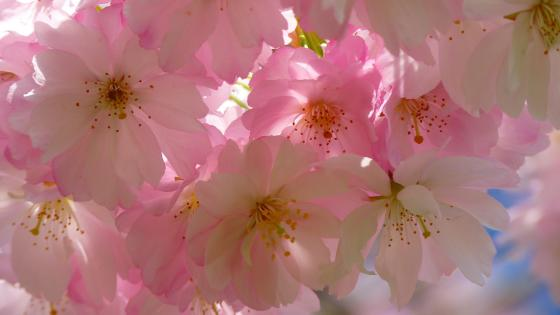 Cherry blossom at spring  wallpaper