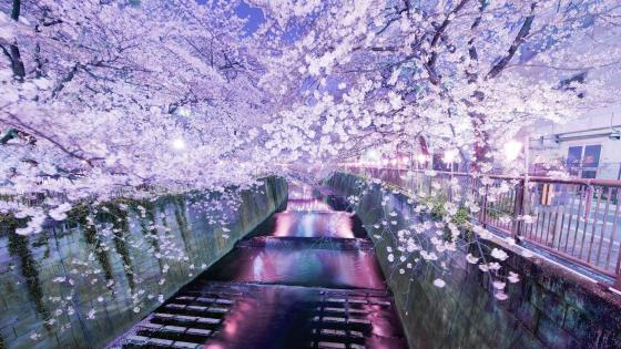 Cherry blossom above river wallpaper