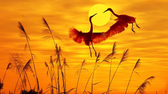 Cranes in the sunset wallpaper