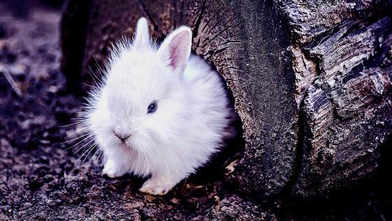 White rabbit in his refuge  wallpaper