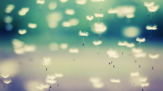 Flying Dandelion seeds macro photography  wallpaper
