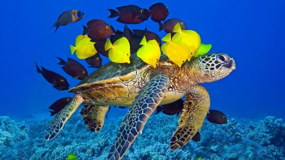 Sea Turtle and yellw fishes wallpaper