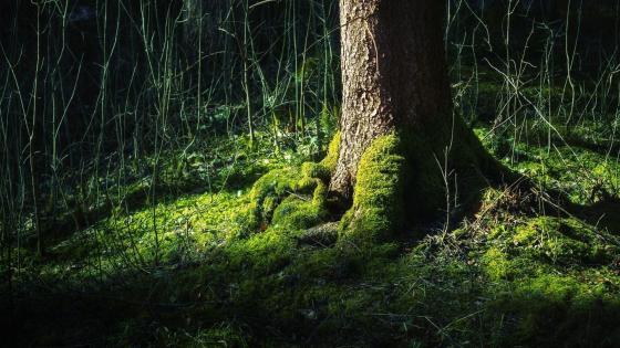 Mossy tree trunk wallpaper