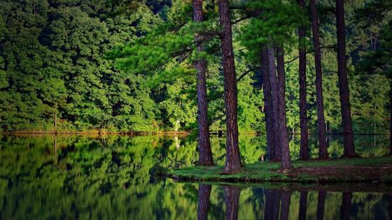 Green pine forest at the lakeside wallpaper