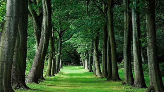 Long tree alley wallpaper