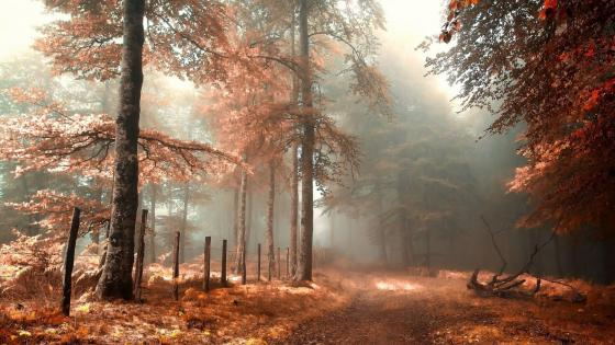 Autumn morning in the forest  wallpaper