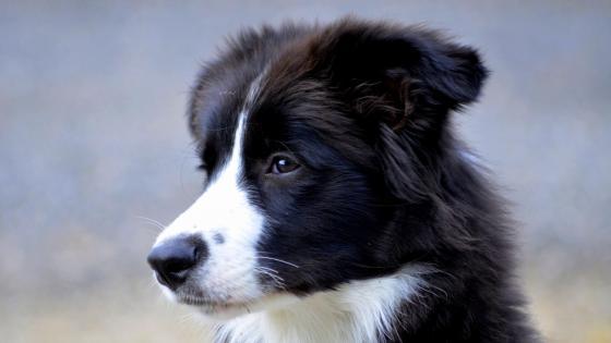 Border Collie puppy wallpaper