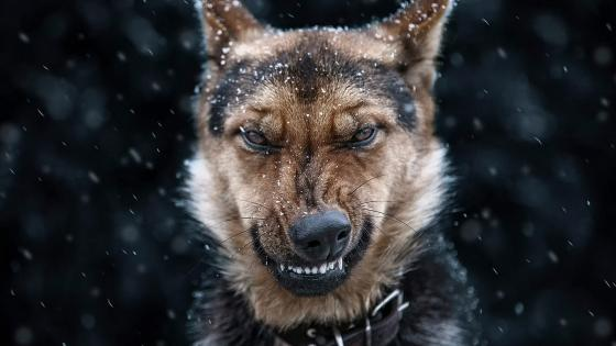 Angry German Shepherd dog wallpaper