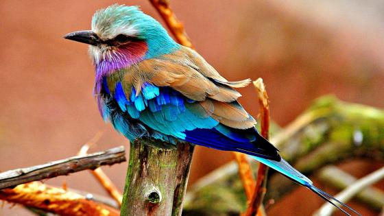 Lilac-breasted roller (Coracias Caudatus) wallpaper