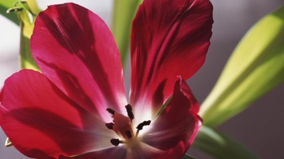 Red tulip close up photography wallpaper