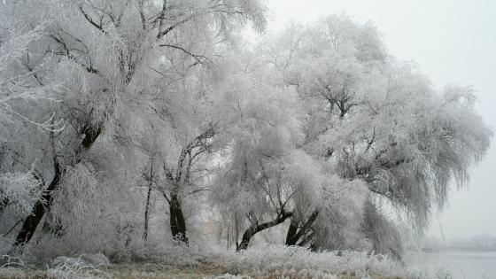 Frozen trees wallpaper