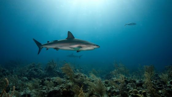 Caribbean Reef Shark  wallpaper