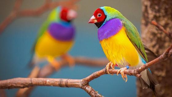 Colorful Gouldian finch wallpaper