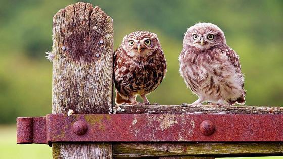 Little owls  wallpaper