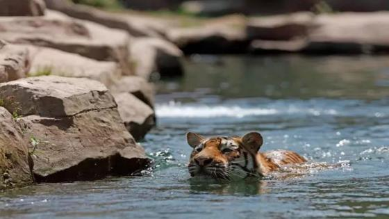 Swimming tiger wallpaper