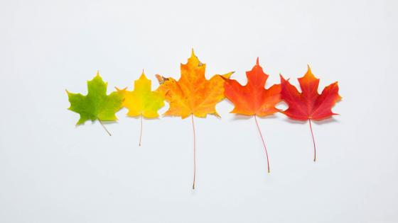 Colors of maple leaf  wallpaper