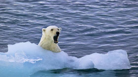 Polar bear in the water wallpaper