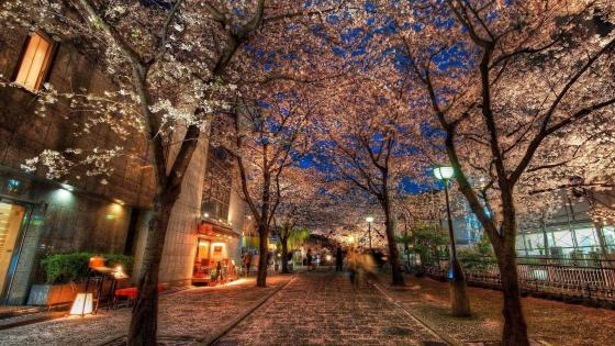 Cherry blossom in Kyoto  wallpaper