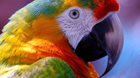 Macaw parrot wallpaper