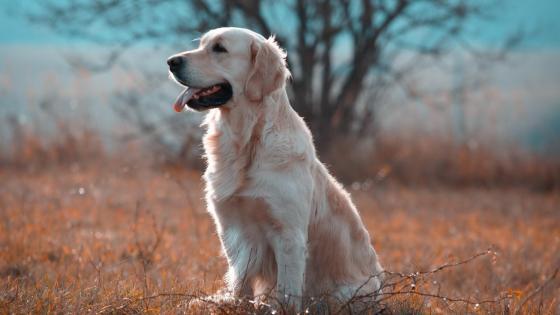Labrador Retriever wallpaper