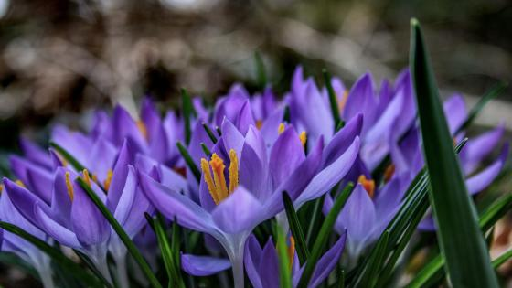 Blooming Crocus wallpaper