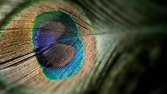 Peacock feathers macro photography wallpaper