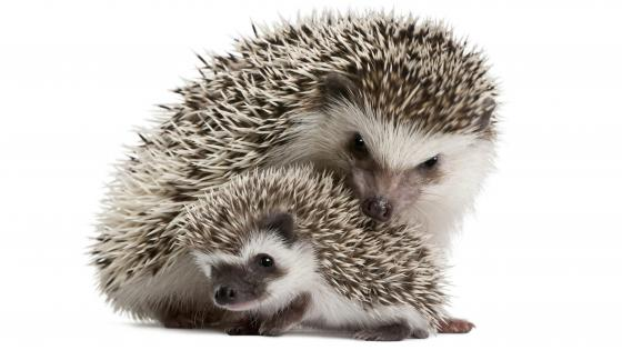 Sweet hedgehogs wallpaper