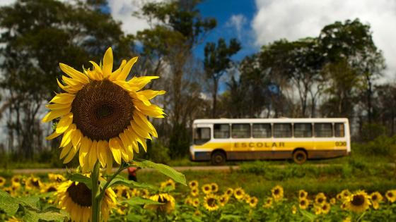 Sunflower field in Brazil wallpaper