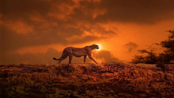 Cheetah in the sunset wallpaper