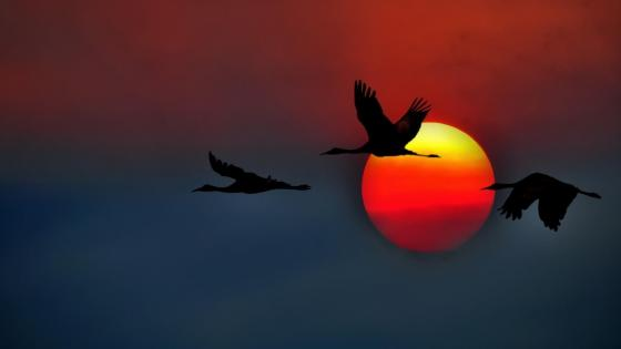 Crane silhouette in the sunset wallpaper